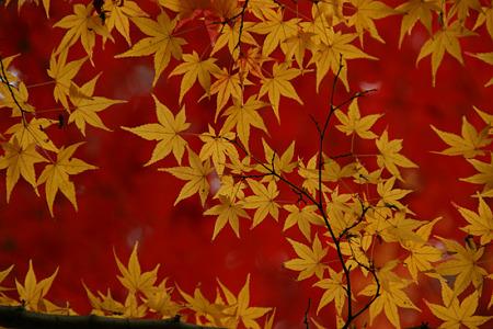 黄葉と紅葉111205