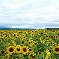 Photos: 名寄、ひまわり畑