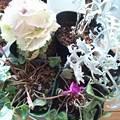 写真: 霜にあたった 葉ボタン ガーデンシクラメン 白妙菊 セージ