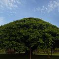 写真: ガジュマルの木