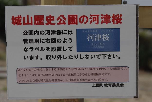 IMGP9014上関町、城山公園河津桜2
