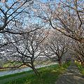 うきは市・流川の桜並木(3)
