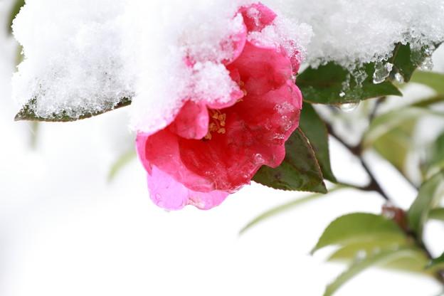 雪サザンカ(4) 重いよ~(´_`。)