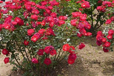 無名のバラ