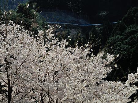 下北山村の桜・4