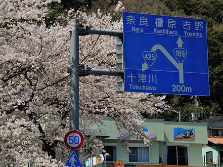 下北山村の桜・5