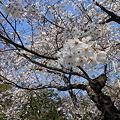 Photos: 2012・八芳園の桜2