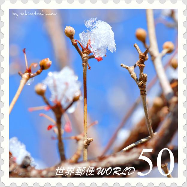 <花切手*サンシュユの花芽 with 雪>