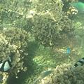 写真: アルパット島近くで熱帯魚その04