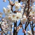 Photos: 桜咲く淡い季節